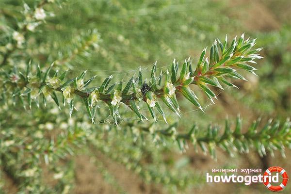 Лечебные свойства и противопоказания солянки холмовой