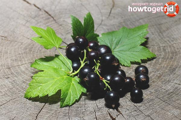 Польза листьев черной смородины
