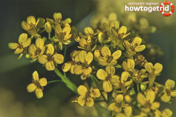 Рецепты с растением сурепка