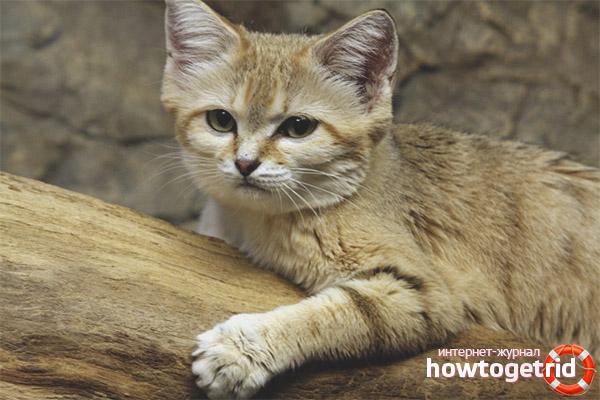 Арабская песчаная кошка