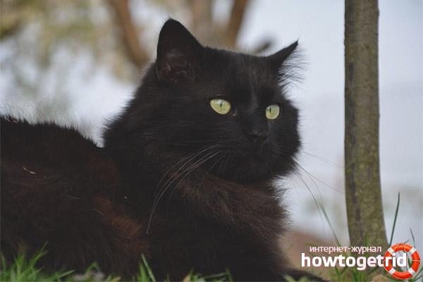 Характер кошки породы шантильи-тиффани
