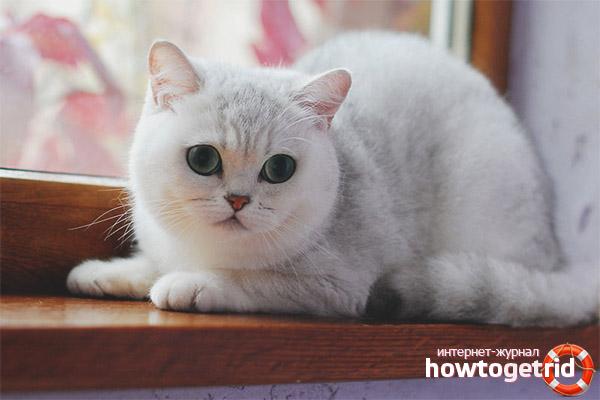 Характер кошки шиншиллы