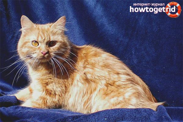 Характер породы кошек кимрик