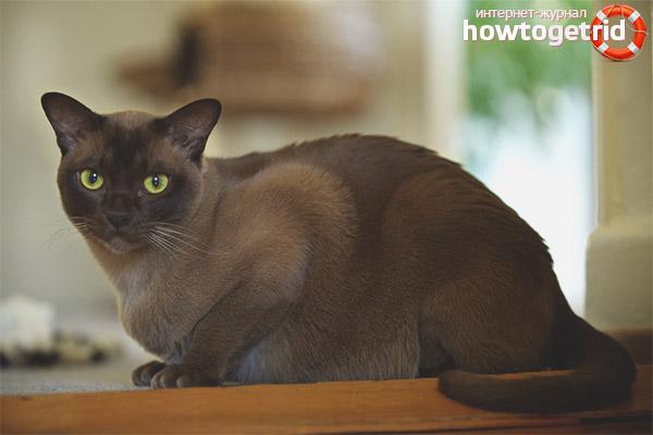 Питание бурманской кошки