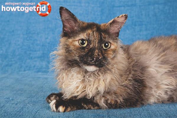 Порода кошек лаперм