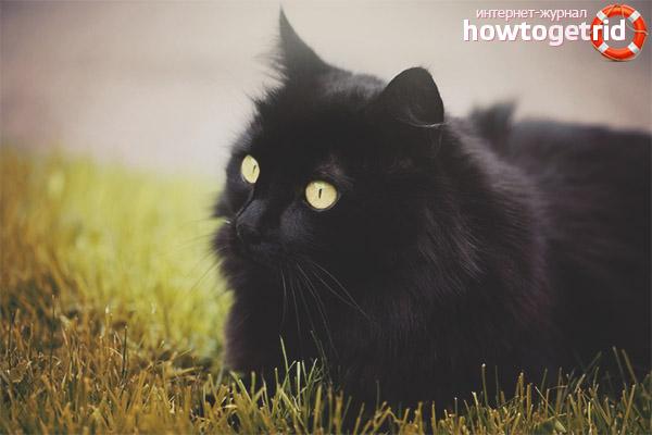 Порода кошек шантильи-тиффани