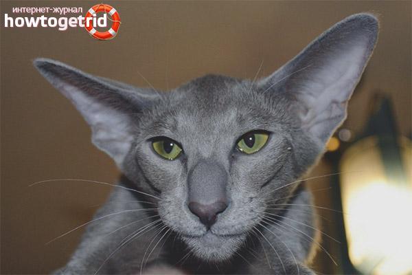 Психология ориентальной кошки