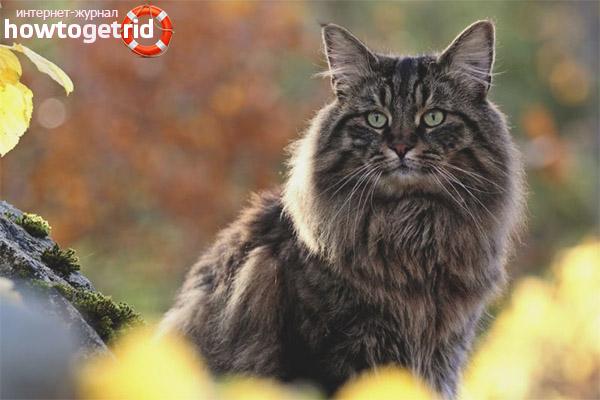 Разновидности окраса норвежских кошек