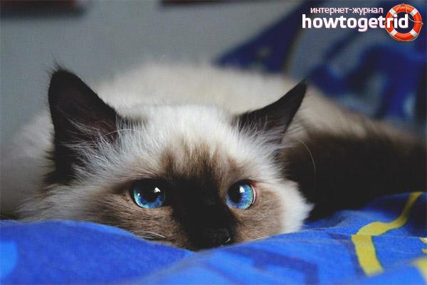 Здоровье бирманской кошки