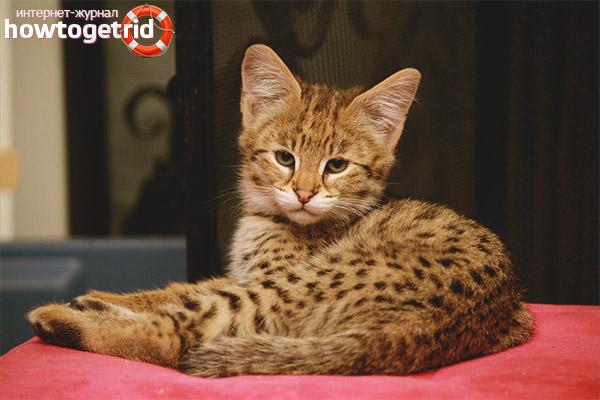 Как выбрать и приобрести котенка ашера