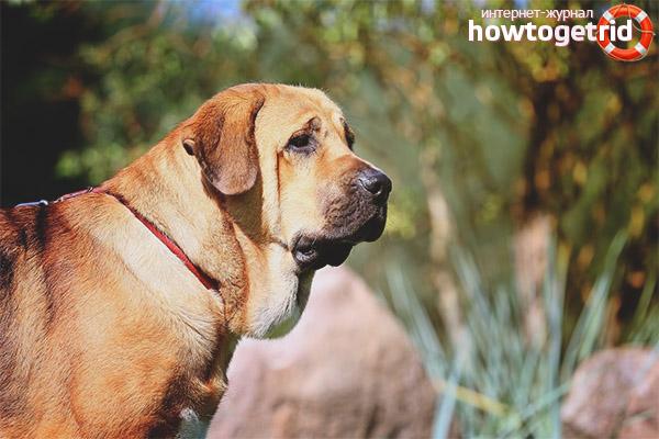 Порода собак испанский мастиф