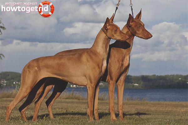 Правила ухода за фараоновой собакой