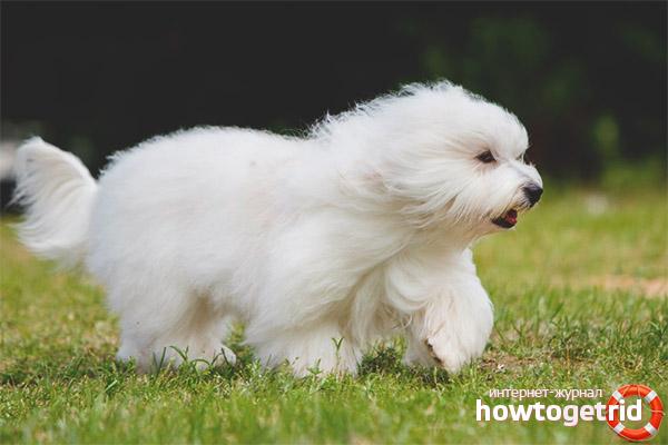 Уход и содержание собак породы котон-де-тулеар